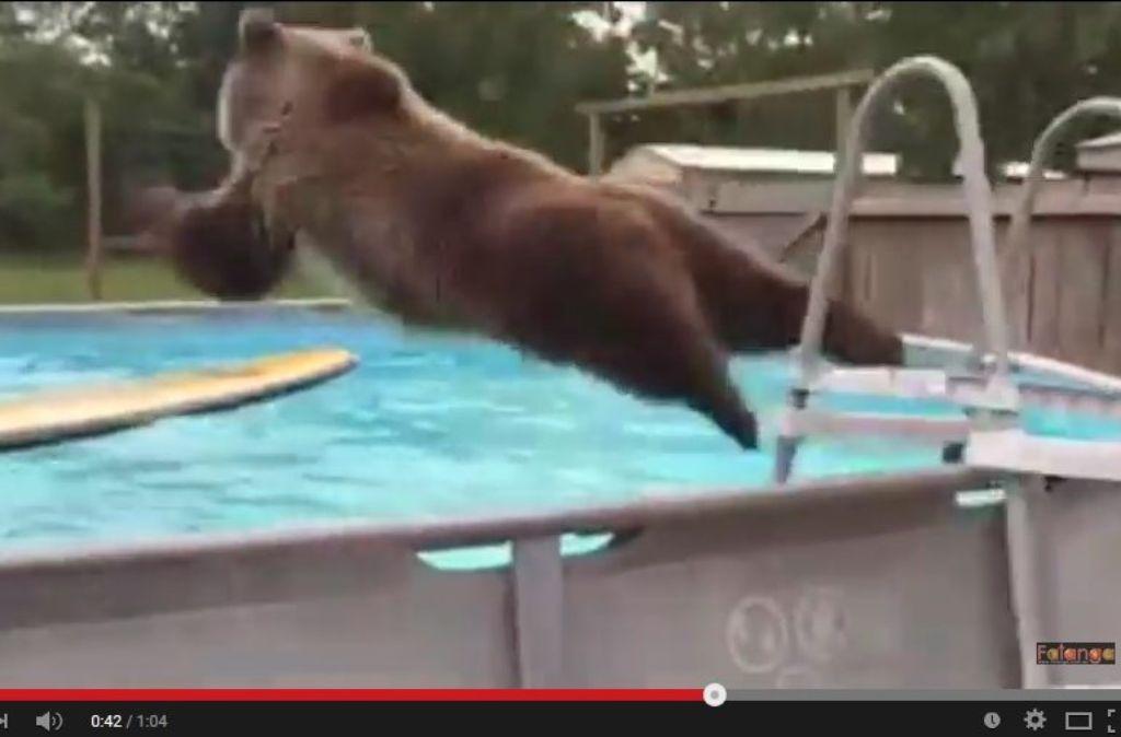 Dieser Bär springt mit Begeisterung in den Pool. Foto: Screenshot StN
