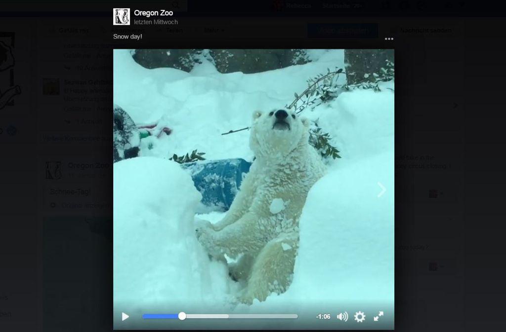 Dieser Eisbär genießt sichtlich seinen Ausflug in den Schnee. Foto: Screenshot Facebook / @oregonzoo