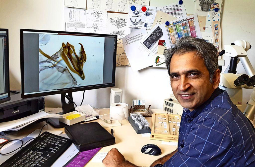 Unter dem Mikroskop liegt der 0,1 Millimeter kleine  Geschlechtsapparat eines Spanners, den Hossein Rajaei auf dem Bildschirm zig-fach vergrößert sieht. Foto: