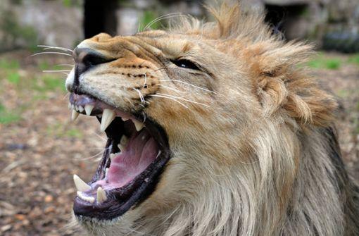 Mann streichelt Löwe und verliert fast seine Hand
