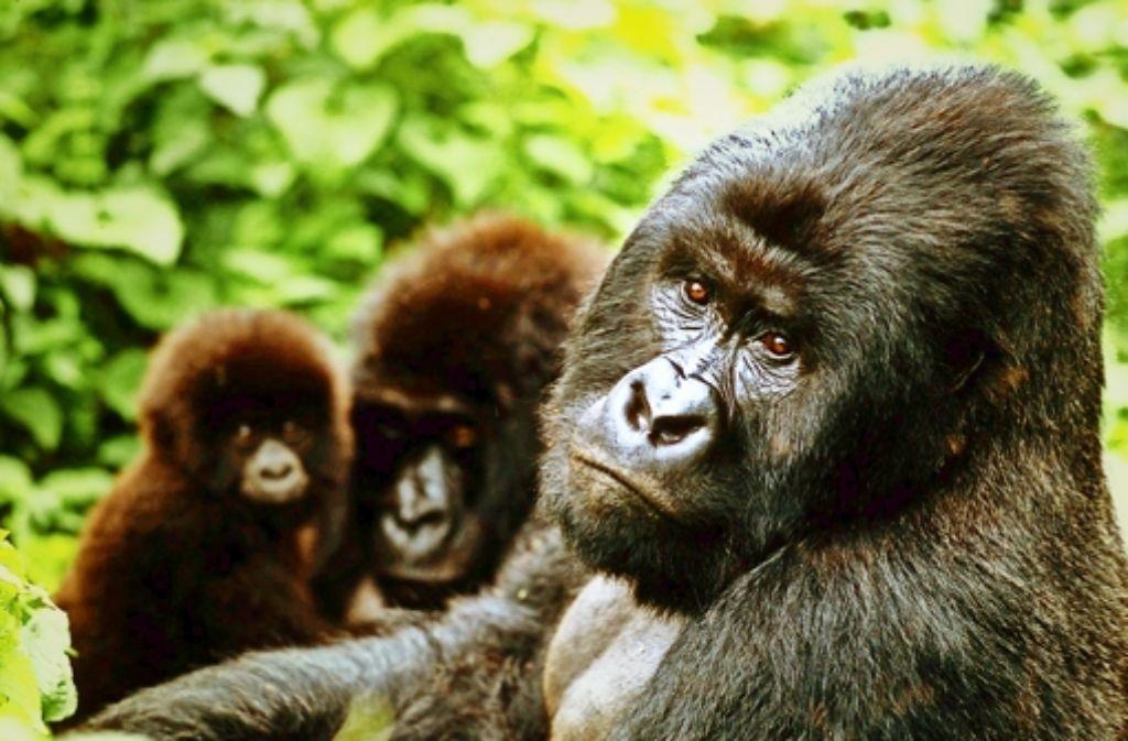 Der WWF engagiert sich unter anderem auch für Berggorillas im Kongo. Foto: WWF