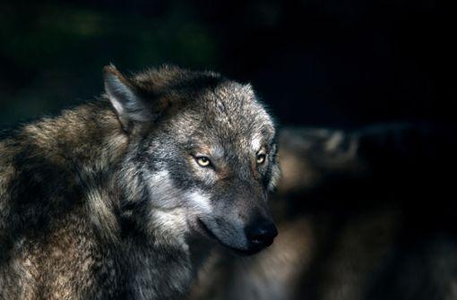 Wolfsattacke beunruhigt Dorf in Niedersachsen