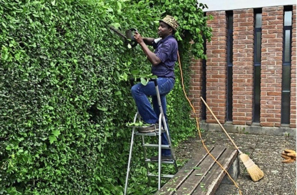 Bori Maneh versteht etwas vom Heckenschnitt, in Gambia hat er als Gärtner gearbeitet. Foto: privat