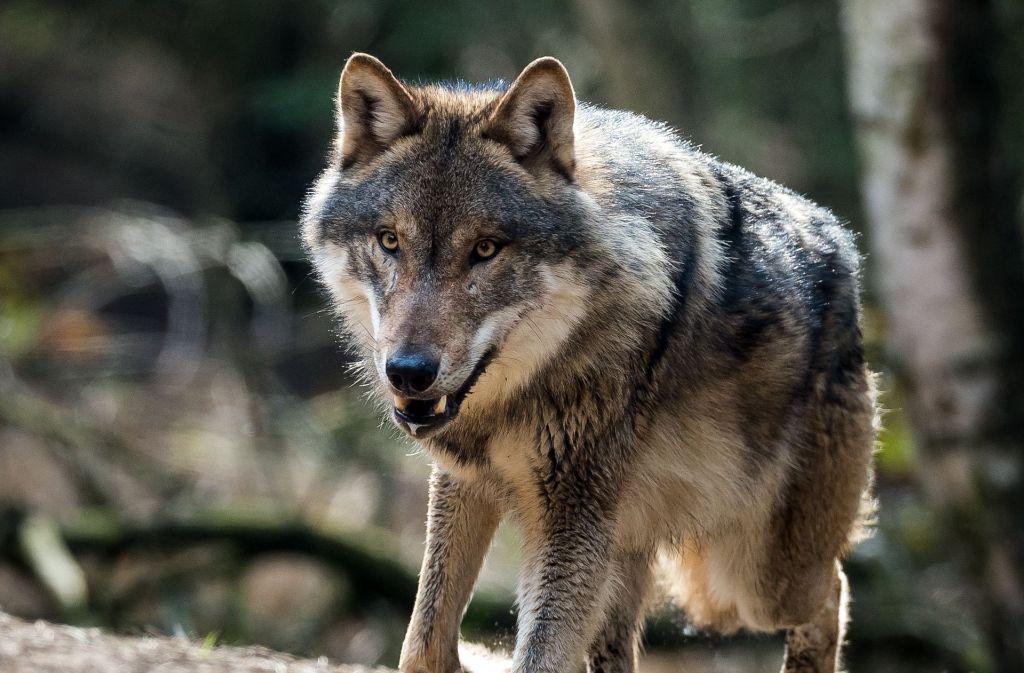 Ein Wolf hat Rotwild bei Freudenstadt gerissen Foto: dpa-Zentralbild