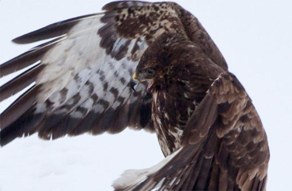 Ein Mäusebussard ist auf der A81 im Main-Tauber-Kreis frontal in ein Auto geflogen und im Kühlergrill stecken geblieben. Der Greifvogel überlebte die Kollision scheinbar unbeschadet. (Symbolbild) Foto: dpa