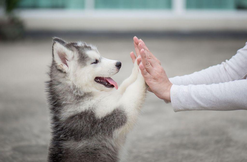 Im Welpenalter sind Hunde am lernfähigsten. Foto: Shutterstock/ANURAK PONGPATIMET