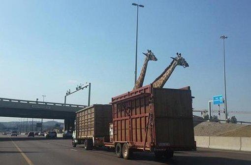 Giraffe prallt gegen Autobahnbrücke