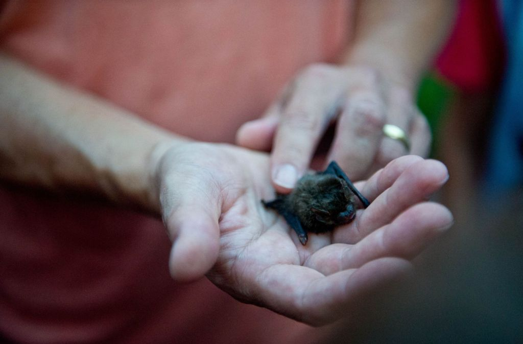 Putzig, so eine Zwergfledermaus – Laien sollten sie aber, wenn überhaupt, dann nur mit Handschuhen anfassen. Foto: Lichtgut/Volker Hoschek