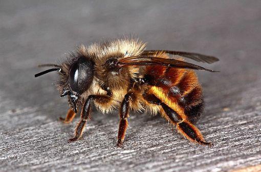 Wie Wildbiene und Feldhamster gerettet werden sollen