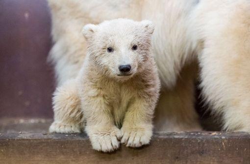 Eisbär-Baby Fritz schwebt in Lebensgefahr