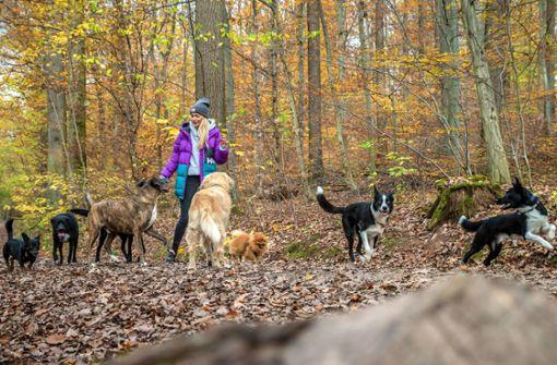 Mit acht Hunden im Kräherwald