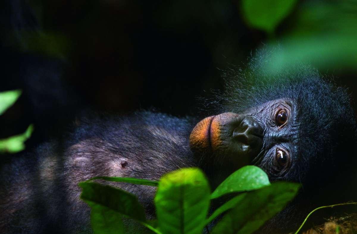Für Momentaufnahmen wie diese verfolgte der Naturfotograf Christian Ziegler monatelang die vom Aussterben bedrohten Bonoboaffen im Kongobecken. Foto: teNeues/Christian Ziegler