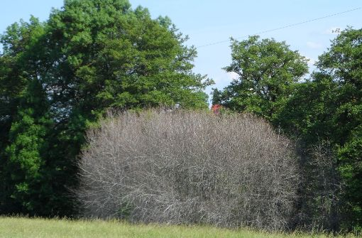 Gespinstmotte überzieht Bäume mit weißen Schleiern