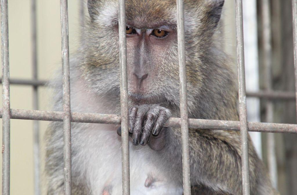Die Grünen im Bundestag fordern von der Bundesregierung Antworten darauf, seit wann sie von den Affen-Versuchen wusste und ob öffentliche Gelder an die EUGT gezahlt wurden. Foto: dpa