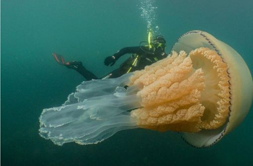 Sensationelle Videoaufnahmen von Riesenqualle