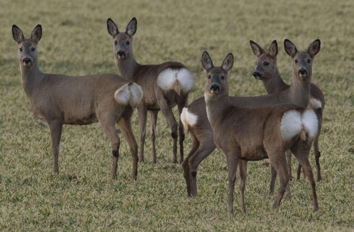 Der Druck auf Wildtiere wie Rehe wird im Wald und auf Wiesen in der Corona-Pandemie immer größer. Foto: dpa/Boris Roessler