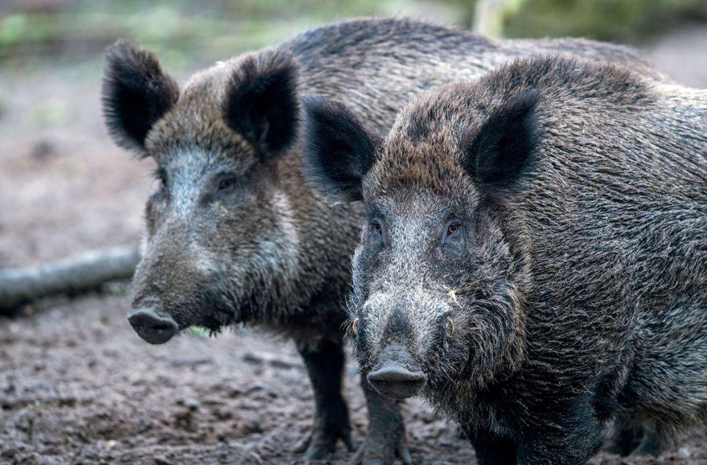Wildschweine haben zum Glück bescheidene Kletterkünste. (Symbolbild) Foto: dpa