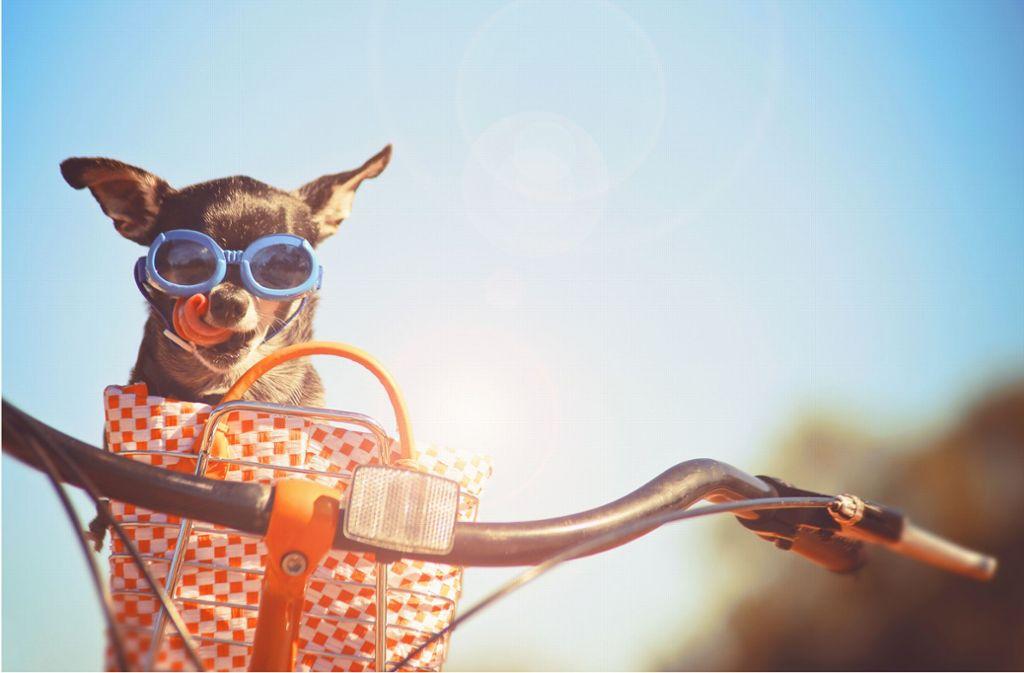 Hund im Körbchen am Lenker – das sieht man zwar oft,  es ist aber nicht erlaubt. Foto: Annette Shaff/Adobe Stock