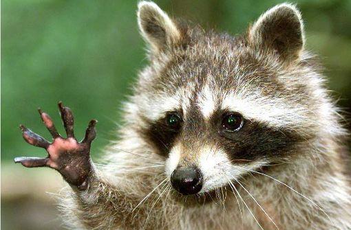 Polizei verscheucht Waschbär aus Katzenkörbchen