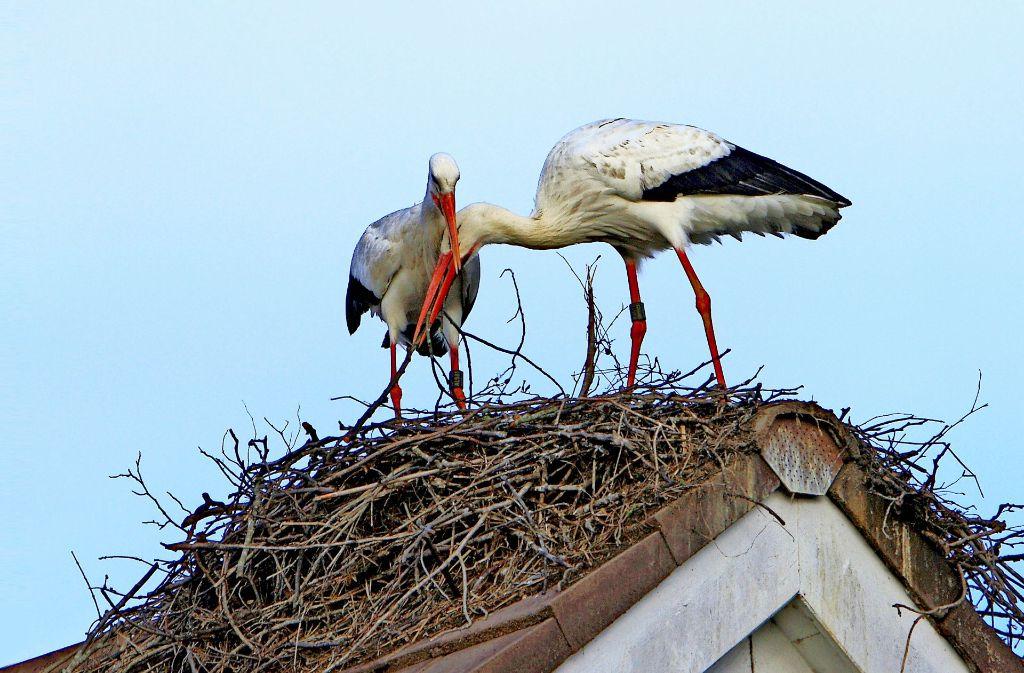 Alte Liebe: Zozu (links) schnäbelt mit ihrem vorjährigen Partner. Weitere Bilder von Nestbau und Geschlechtsverkehr der Störche sowie der Arbeit der Ornithologen zeigt die Bilderstrecke. Foto: Wickert