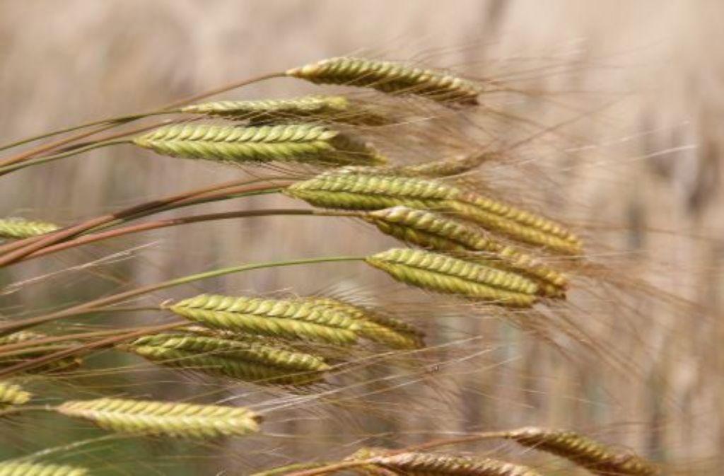 Filigranes Urgetreide: das Einkorn hat lange Grannen und in der Regel ein einzelnes Korn auf der sogenannten Ährenspindel – daher auch der Name. Foto: Uni Hohenheim