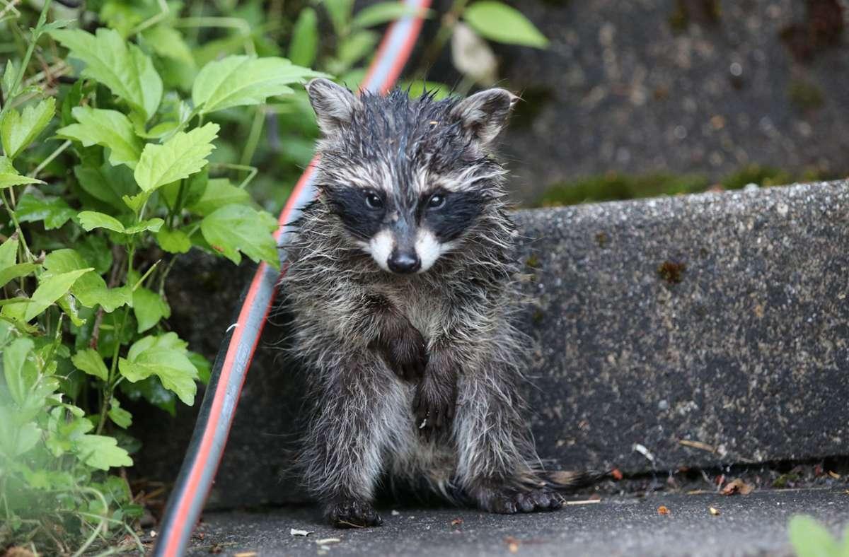 Waschbär Junior hat sich in einem Garten in Auenwald verlaufen. Foto: Frank Rodenhausen