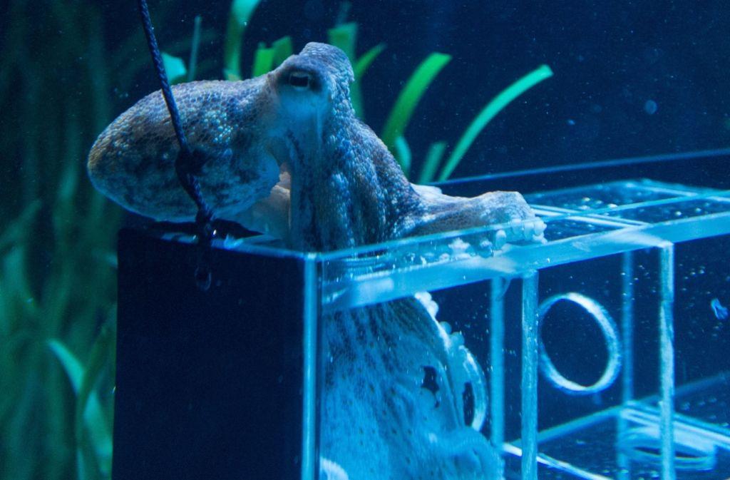 Kraken sind ziemlich schlaue Tiere, die beschäftigt werden wollen. Foto: dpa