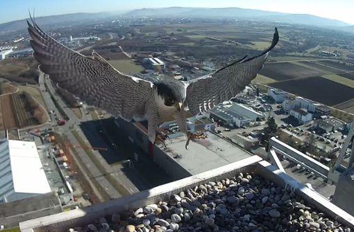 Seltene Falken haben Wohnhaus bezogen