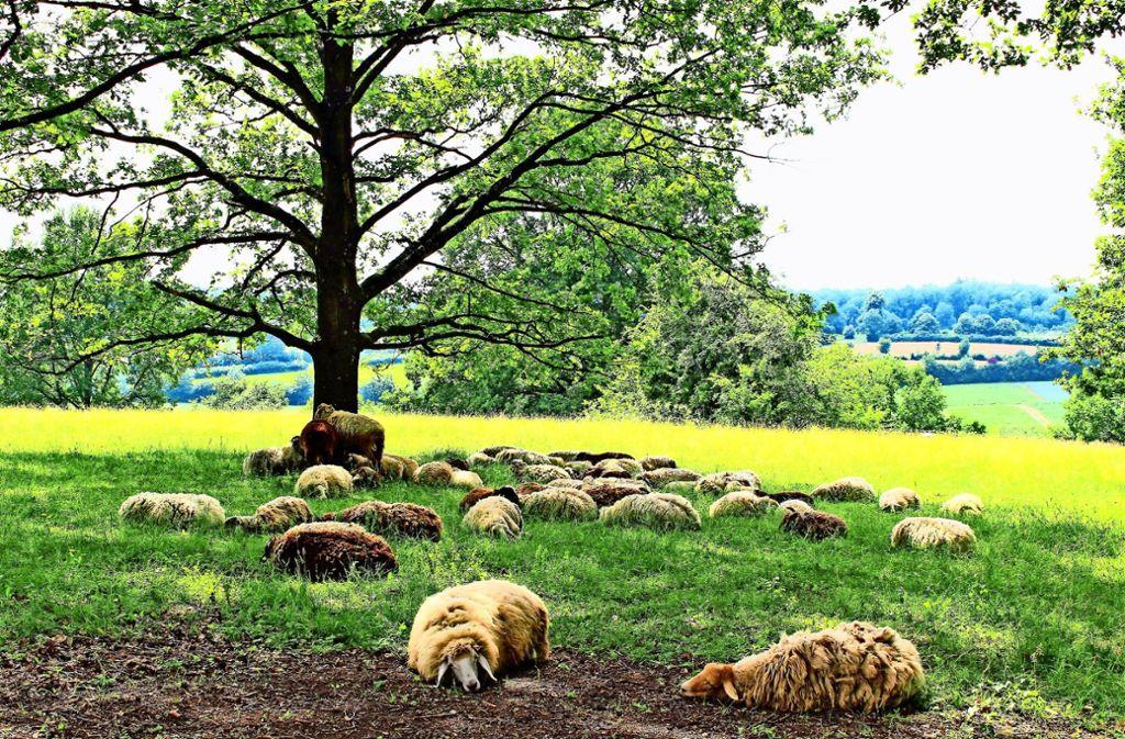 Ein Bild aus vergangenen Tagen: die Schafe im Eichenhain Foto: Archiv Caroline Holowiecki