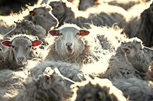 Eines der Schafe war schon skelettiert