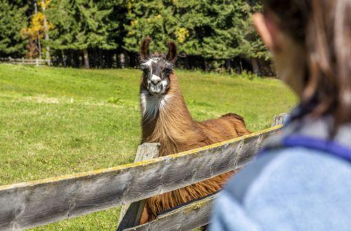 Ausgebüxte Lamas sorgen für Verspätungen im Bahnverkehr