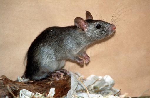 Ratte löst Kurzschluss aus