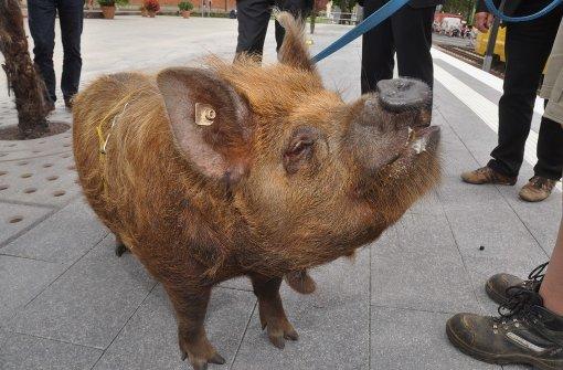 Schweinchen Tommi eröffnet Stadtbahnhaltestelle Wilhelma