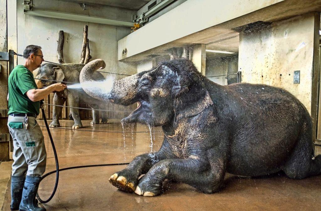Die Elefanten bekommen morgens eine kühle Dusche. Foto: Lichtgut/Max Kovalenko