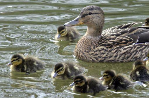 Polizei rettet Entenfamilie von der Autobahn