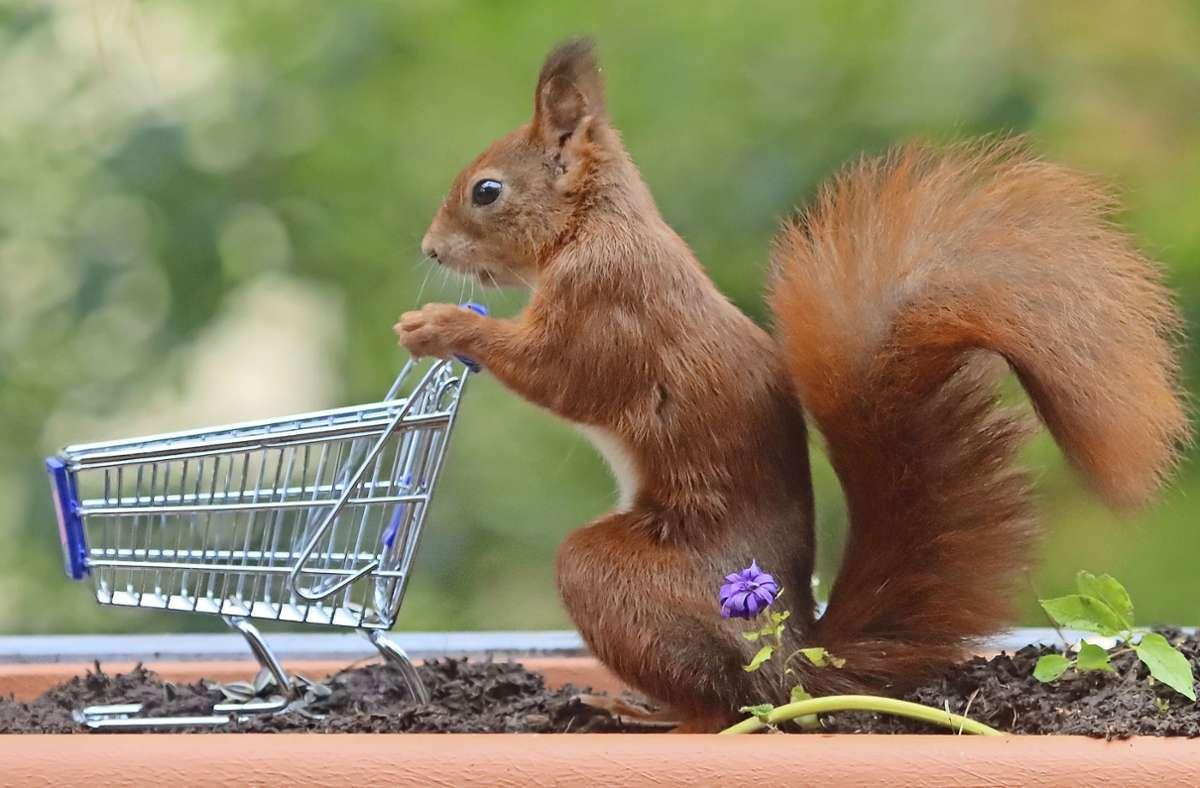Dustin Hönes drückte im richtigen Moment den Auslöser: So sieht es beinahe danach aus, als würde das Eichhörnchen den Einkaufswagen schieben. Foto: Dustin Hönes