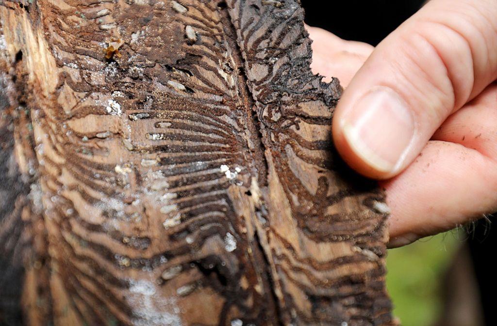 Der Borkenkäfer breitet sich in diesem Jahr stark aus. Foto: dpa