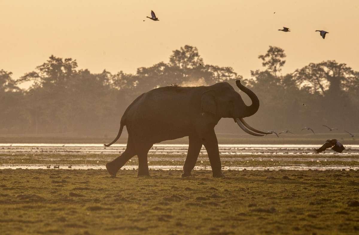 Ein Elefant wirft sich im Agoratoli Reservat im indischen Kaziranga-Nationalpark mit dem Rüssel Staub auf den Rücken. Foto: Anupam Nath/AP/dpa