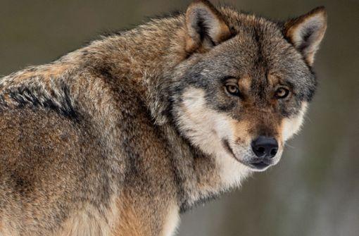Ein Wolf auf Durchreise im Elsass