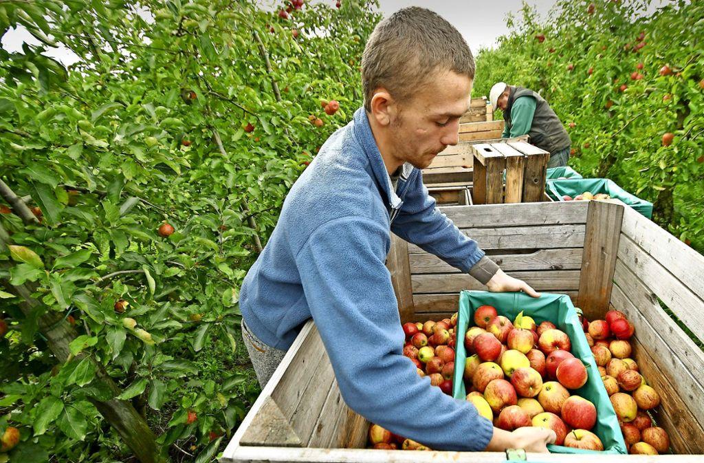 Saisonarbeiter: Ein polnischer Erntehelfer in Norddeutschland. Foto: dpa