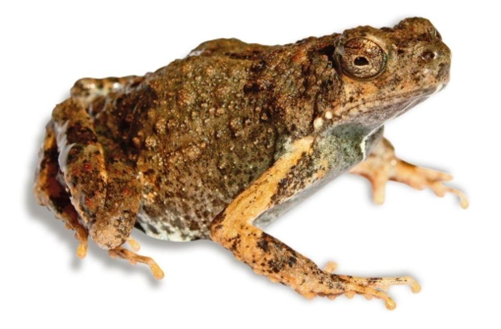 Der Tungara-Frosch wird nur zwei oder drei Zentimeter groß. Foto: Brian Gratwicke