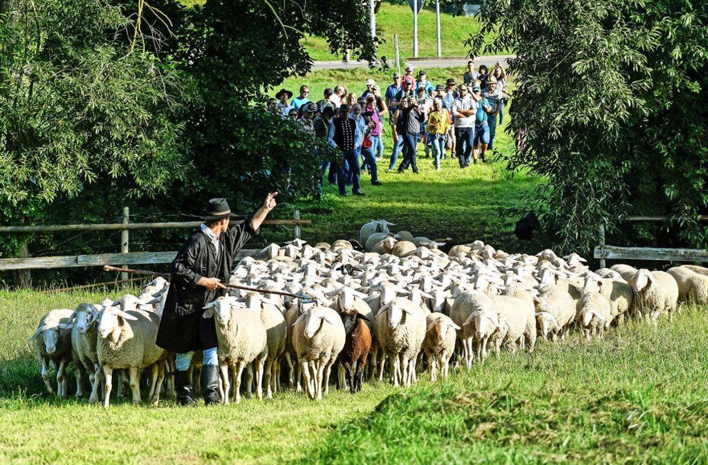Ein Schäfer führt die Herde über eine Brücke, während sein Hütehund hinten nach dem Rechten sieht. Foto: factum/