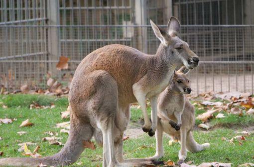 Kleines Känguru macht die ersten Hüpfer