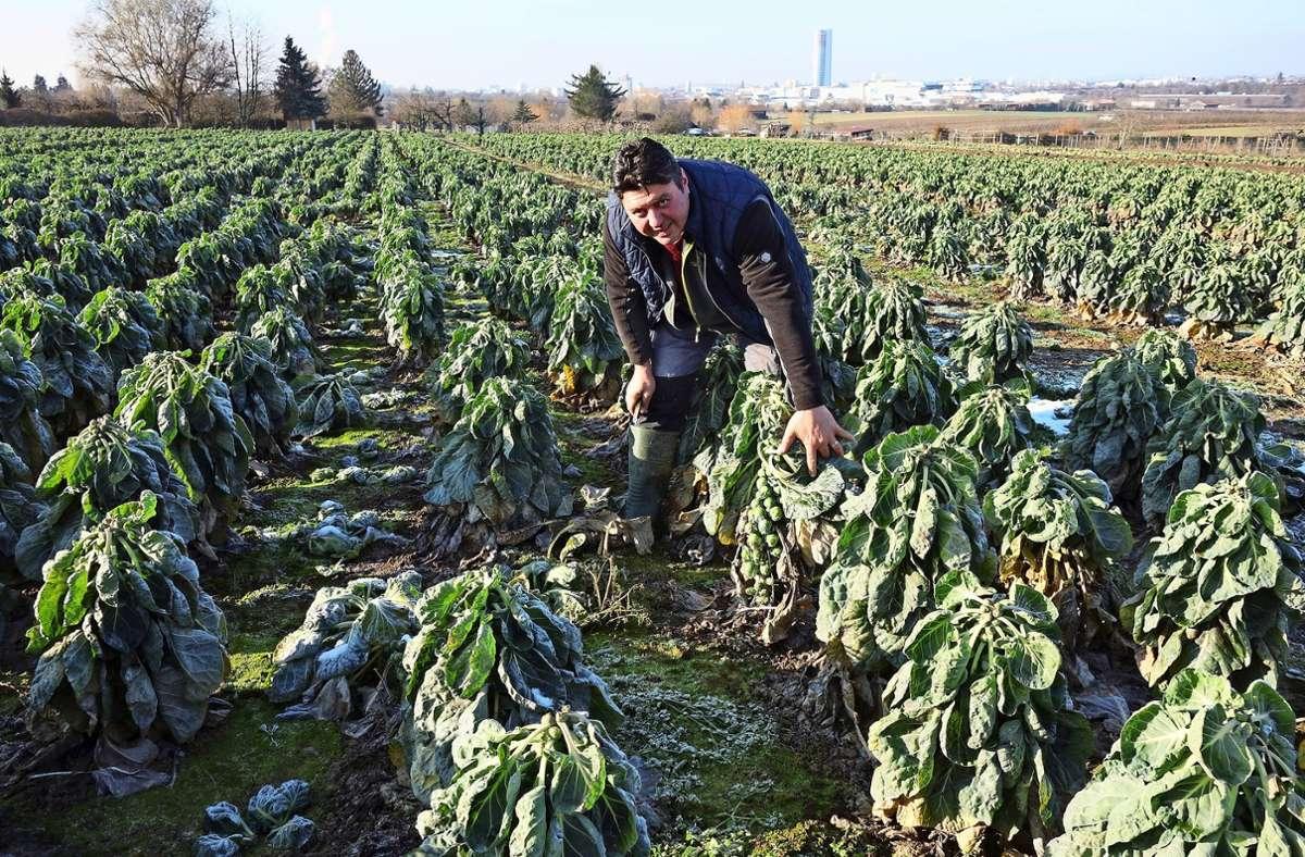 Die Erntehelfer haben alle Hände voll zu tun: Derzeit  ist Hochsaison für das regionale Gemüse aus Kernen-Rommelshausen. Foto: Ingrid Sachsenmaier
