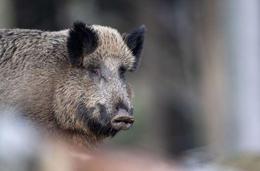 Wildschwein rennt Fußgängerin um und verletzt sie