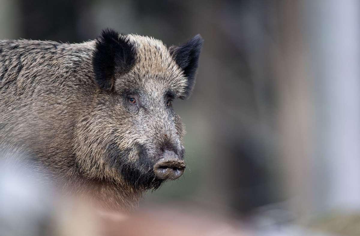Eine Fußgängerin wurde in Heidelberg von einem Wildschwein attackiert. (Symbolbild) Foto: dpa/Lino Mirgeler