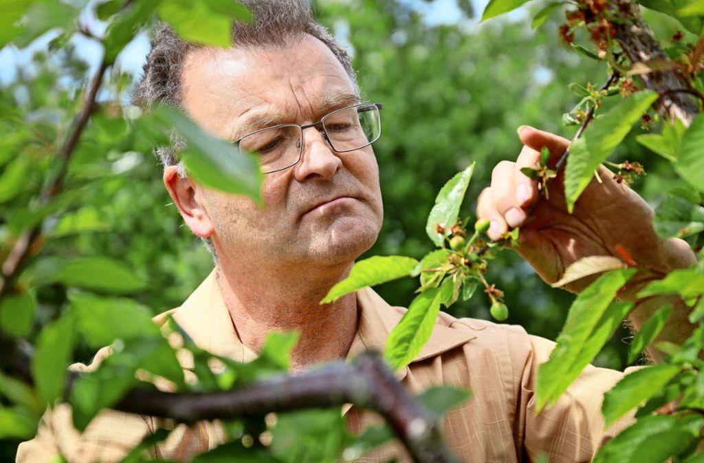 Manfred Nuber schaut seine Kirschen an: Nur noch drei Früchte hängen dort. Es müssten zwanzig sein. Foto: factum/Simon Granville