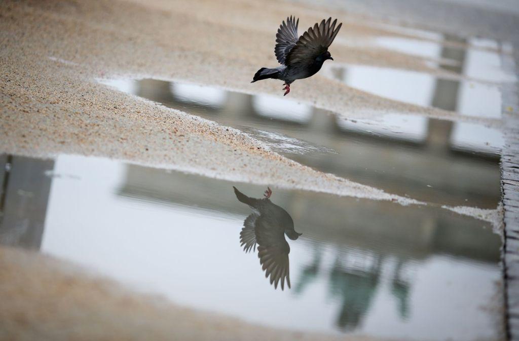 In Berlin lben geschätzt 10 000 bis 15 000 Tauben. Foto: dpa
