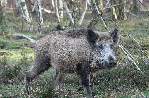 Angeschossenes Wildschwein verletzt Jäger tödlich