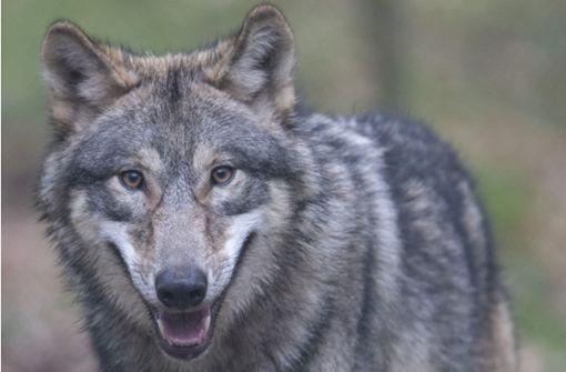 Noch einen Wolf zieht es in den Südwesten